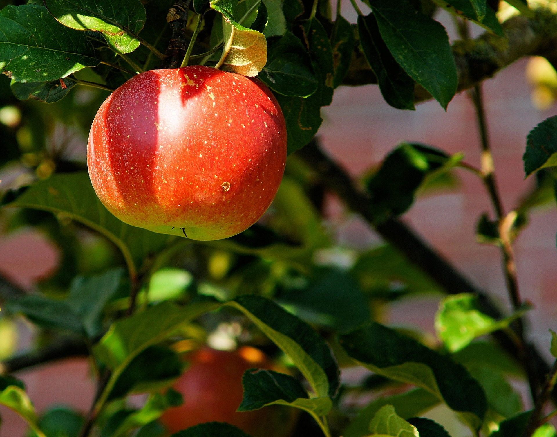 apple-tree-429213_1920